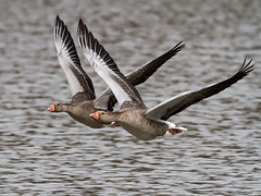 Greylag Goose - Anser anser photo by normanwest4tography