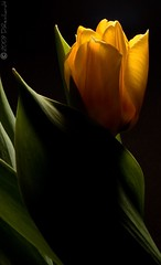 Tulip(yellow) photo by D.Reichardt