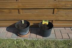 Experiment Sonnenblumen