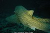 Requins leopard