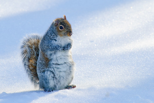 Snow SquirrelDSC_0125