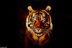 Tiger at Miller Park photo by Todd Ryburn