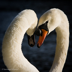 Swan couple in love photo by Zalacain