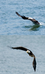 Bald Eagle Fishing photo by nwprophoto