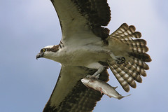 Osprey With Fish photo by GaryKurtz