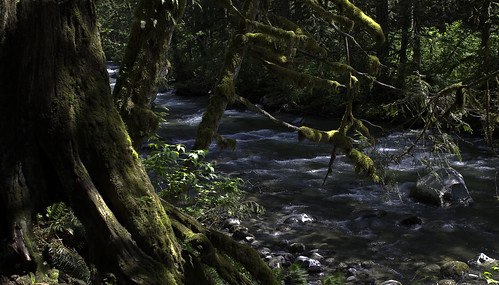 Mossy Green Trees along the Wallace River