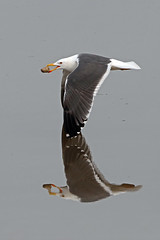 lesser black backed gull (Explored) photo by DODO 1959