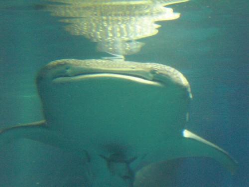 Kaiyukan: Whale shark 01