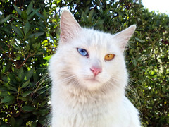 Turkish Van Cat photo by alsay