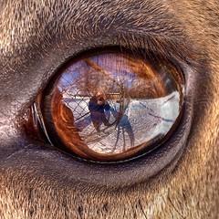 Elk eye view photo by vidular