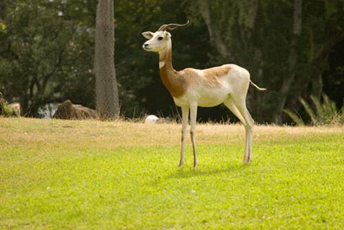 antelope.gif