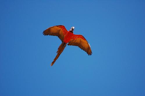 hybrid macaw (1)