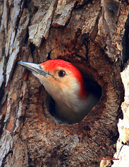 Red-bellied Woodpecker(s) photo by William  Dalton