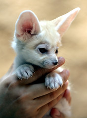 Fennec fox photo by floridapfe