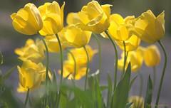 Tulip-iferous photo by NYCandre