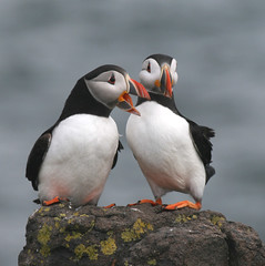 Puffin Love photo by Jacqui Herrington: