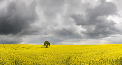 Tree in a Field of Yellow with Darkening Sky photo by wentloog
