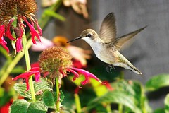 Backyard hummingbird photo by visiblejoy