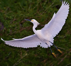 Arc of a Snowy Egret photo by Fort Photo