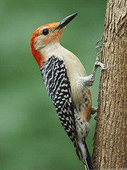 Red-bellied woodpecker photo by Laney Bird