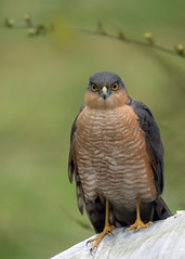 Sparrowhawk - male photo by afterforty‽