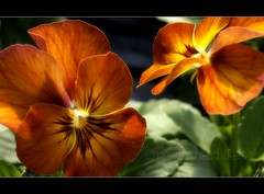 pansies in sunlight photo by OneEyedJax