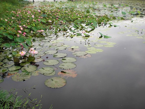 A pool with lotuses and waterlilies