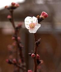 Peach Blossom 3, 2/16/06
