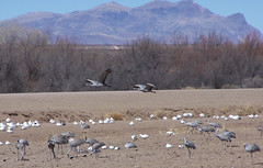 Sandhill cranes at Bosque del Apache 4