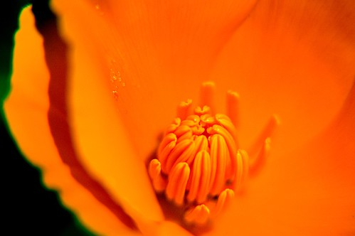 California Poppy 3