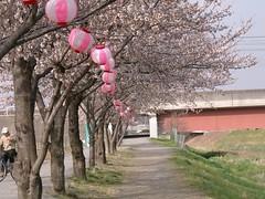 Cherry Blossom #10
