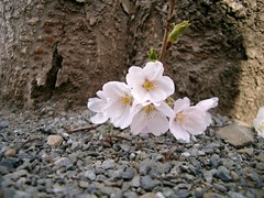 Cherry Blossom #2