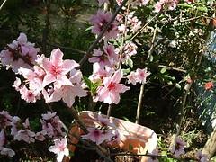 鉢植えの桃