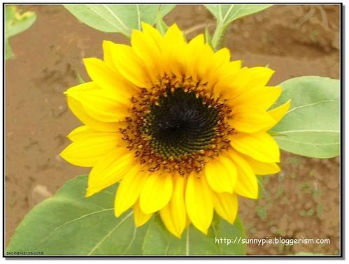 打頭陣的當然要是太陽花嘍
