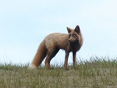 Fox above South Beach, San Juan Island