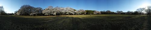 Cherry Blossom - Panorama 10