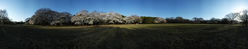 Cherry Blossom - Panorama 9