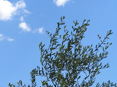 20060407 - Friday Olive Tree Blogging