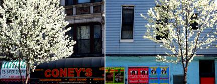 New York Blossom