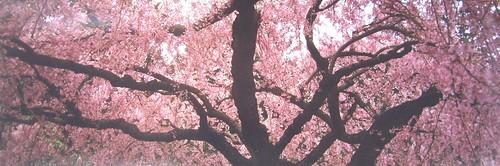 cherry_photo