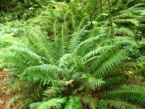 woods 3 fern