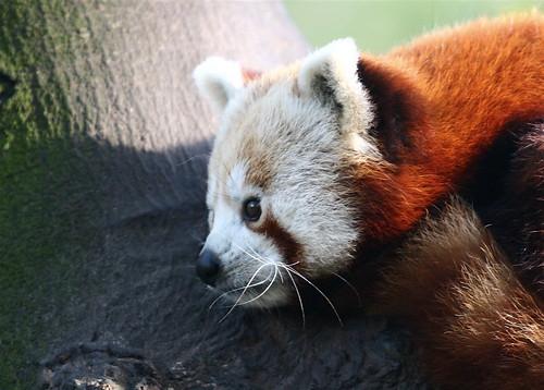 Un panda roux pris au zoo de Lille
