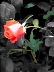 rose,171105