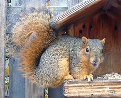 squirrel talkin