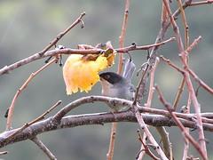 Toutinegra-dos-valados (Sylvia melanocephala)