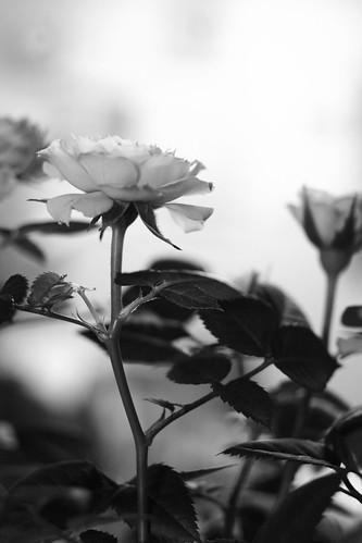 黄色いバラ yellow rose.