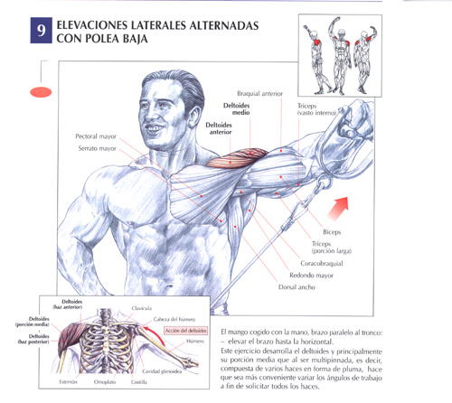 triceps19.jpg (83467 bytes)