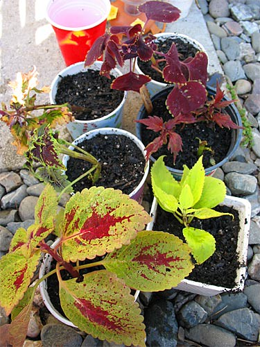 Potted Coleus cuttings