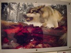 国家地理展览 猎食的狼