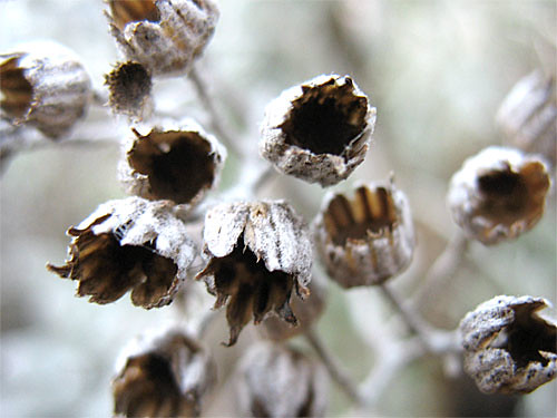 Dried up Dusty Miller seed heads